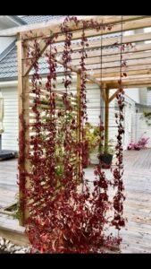 Viinapuu sügisene punane ilu